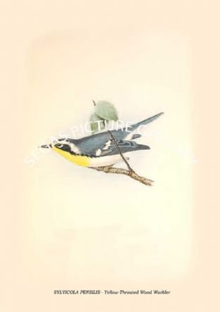 SYLVICOLA PENSILIS - Yellow-Throated Wood Warbler